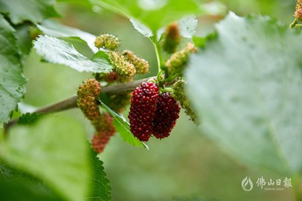 高明的果子熟了,都是春天的味道