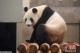 起啥名好呢?旅日大熊猫宝宝候选名字精简至8个