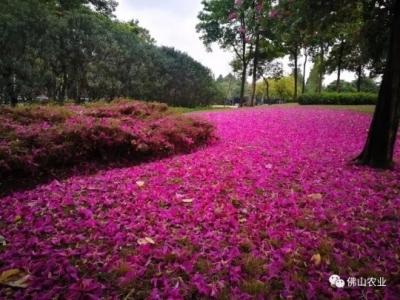 """天降""""紫荆花雨""""!佛山多地鲜花铺满路,刷爆朋友圈"""