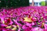 佛山的街道上紫荆花满地