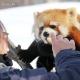 日常羡慕小熊猫饲养员