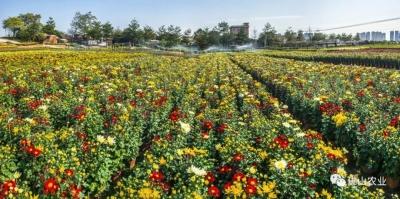 顺德藏着七彩的秘密花园!免费观赏,还能买超便宜年花!