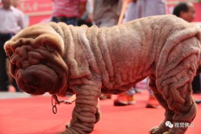 佛山产的世界名狗 贵在你咁丑