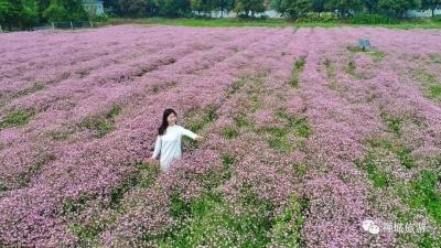 粉色童话世界悄然上线!一起来禅城罗南生态园赏花吧