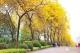 丹灶仙湖的黄金风铃木开了,延绵3公里,最艳就在这些天