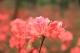 靓爆!3月,南海西樵山近百亩、上百种杜鹃正当红!