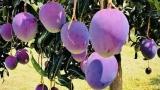 @佛山芒果控们:禅城8亩紫色芒果鲜甜上线!还有这些好吃的...