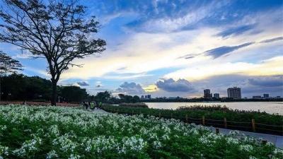 顺峰山公园醉蝶花大片盛放,小叶紫薇繁花似锦…赏花约起