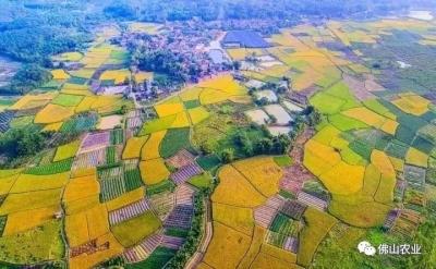 航拍!佛山有片最美的稻田海,万亩稻谷即将变金黄色!