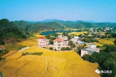 美爆了!佛山及省内五大稻田等来最佳观赏季,走起!