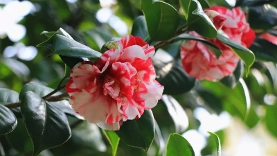 今日实拍!西樵山250亩茶花灿烂盛放!