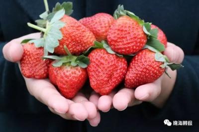 摘草莓,赏红叶!趁着佛山周末阳光正好,赶紧约
