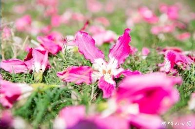 太美了!顺峰山公园异木棉盛放,许你一树繁花的粉色浪漫