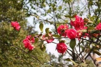 免费赏!最新注册送体验金平台植物园800多亩茶花怒放