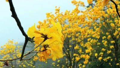 南海西樵山这片黄金风铃木大面积盛放!花期短,速约!