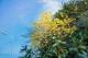 速约!禅城黄花风铃木开花了,漫天金黄让人心醉!