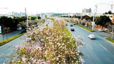 花开满城!美高梅娱乐官网藏了一条10公里的粉红浪漫公路