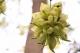 高明这里的禾雀花正盛放,快快组队赏花去~