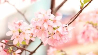"""邂逅春日""""樱""""缘!南庄大片樱花热烈绽放,浪漫唯美"""
