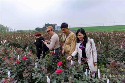 多图带你看南海莲塘村200多亩玫瑰花海盛放!免费赏,约起来