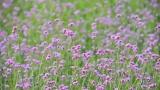 网红马鞭草开花啦,来佛山邂逅一个紫色的春天吧~