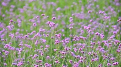 网红马鞭草开花啦,来最新注册送体验金平台邂逅一个紫色的春天吧~