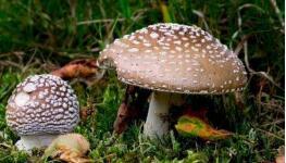 最毒蘑菇致死率95% 误食毒蘑菇应立刻催吐