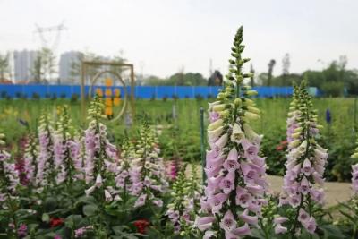 如梦似幻,春意盎然!南海丹灶翰林湖农业公园的毛地黄开好了