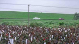 多圖帶你看南海蓮塘村200多畝玫瑰花海盛放