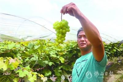 葡萄已熟等你来尝  探秘南山南嘉洲葡萄园