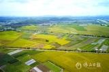 高明盛夏7月最美,金灿灿的稻子熟了