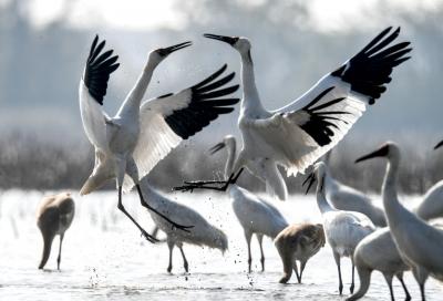 广东历史上首次观测记录到白鹤