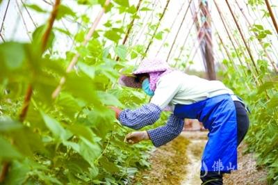 """全区农业生产基本恢复  高明""""菜篮子""""供应稳定"""