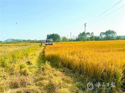 高明稻虾养殖基地第二批水稻开镰  绿色种养 品质更高