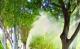 禅城区近4000株绿化芒树木已控花节育