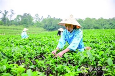 """4條茶旅線路+11道精品菜 美的鷺湖擦亮""""對川茶""""名片"""